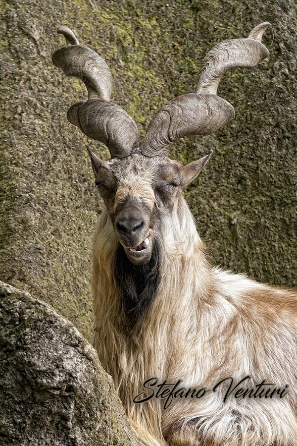 La capra sorridente