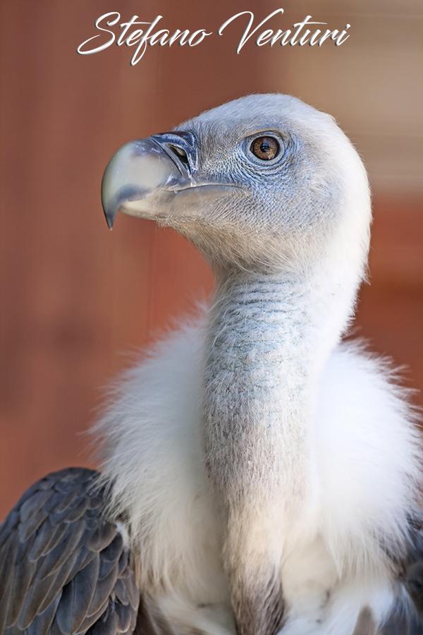 avvoltoio in agguato