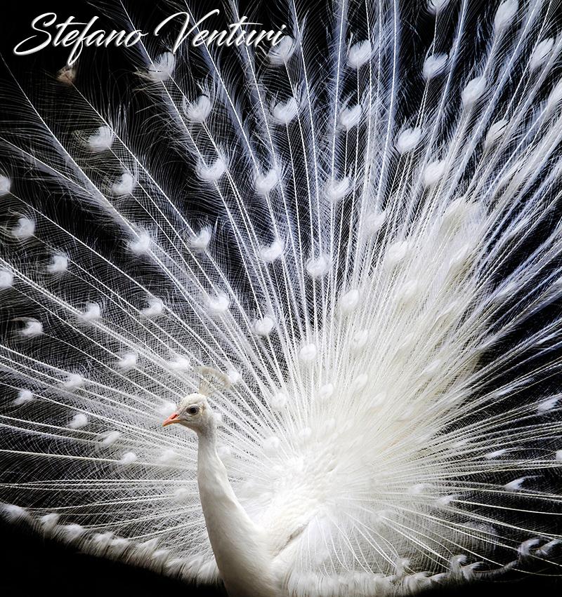 La bellezza del pavone bianco